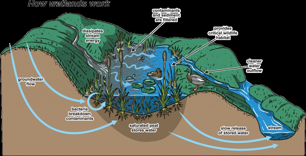 How Wetlands Work
